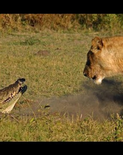 Watch: Three Lions take on a large crocodile in Kenya