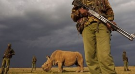 Armed guards in Kenya protect the last known  male northern white rhino in the world